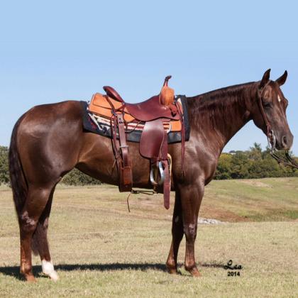 Countess Cat - Showhorse - Circle Y Ranch