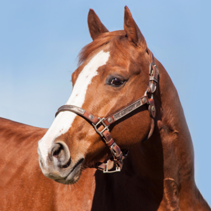 Quintan Blue - Broodmare - Circle Y Ranch