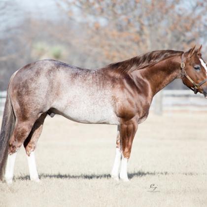 Shining Cat - Stallion - Circle Y Ranch